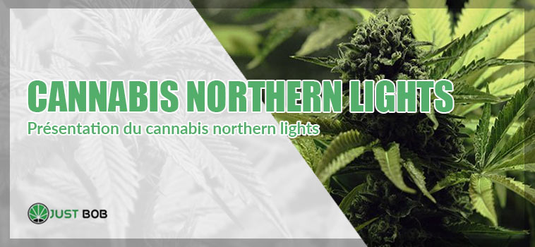 présentation du cannabis northern lights
