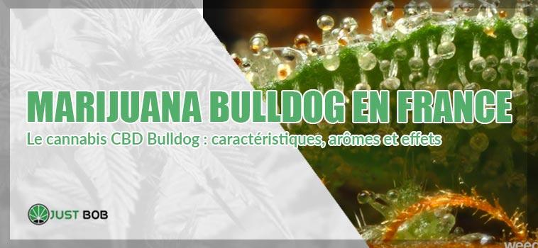 marijuana bulldog en france