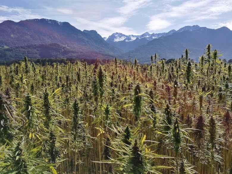 plantes de marijuana cultivées sans produits chimiques pour huile de cbd